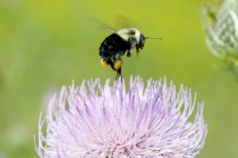 bumble bee thistle pollen nature photography