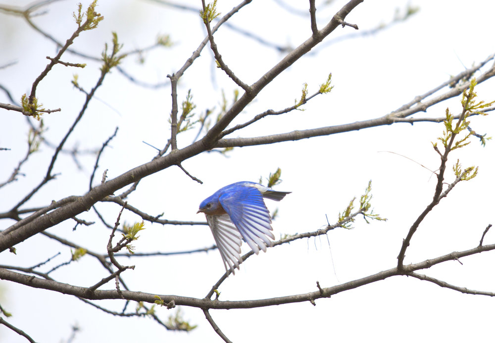 nature photography bluebird in tree