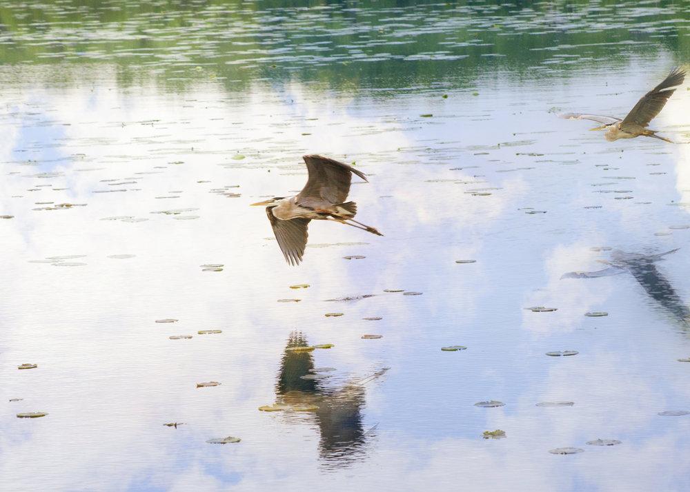 heron on lake nature photography