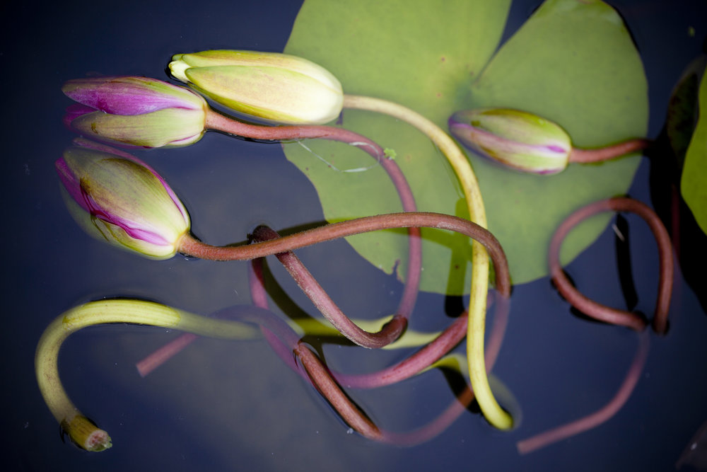 nature photography lillypad flowers