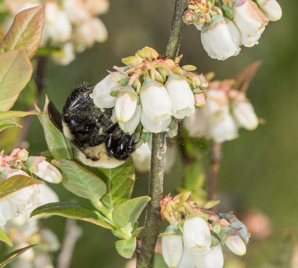 Brown belted bumble bee, blueberry by Heather Holm
