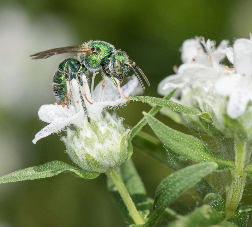 Sweat bee, virginia mountain mint by Heather Holm