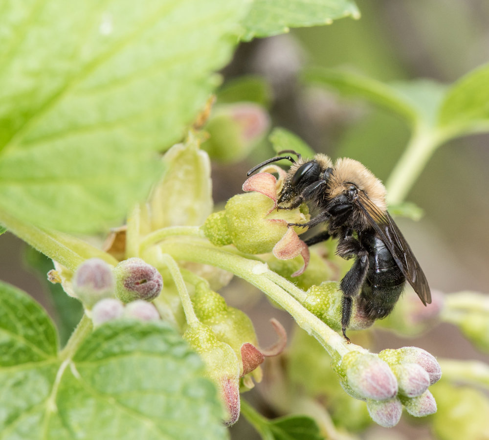 Mining bee, black currant by Heather Holm