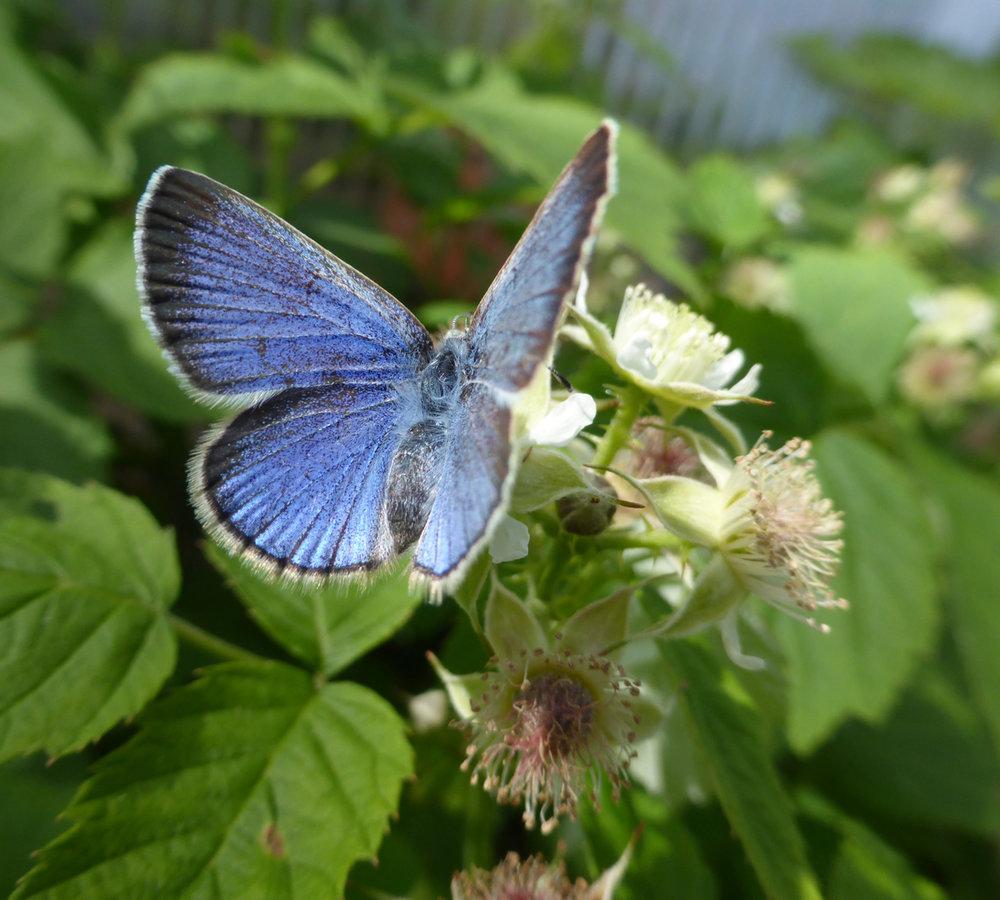 Silvery blue butterfly, raspberry by Sarah Foltz Jordan