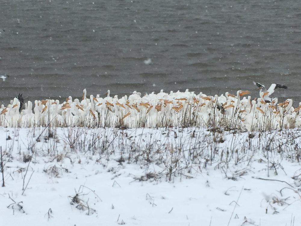 pelicans huddling in snow storm