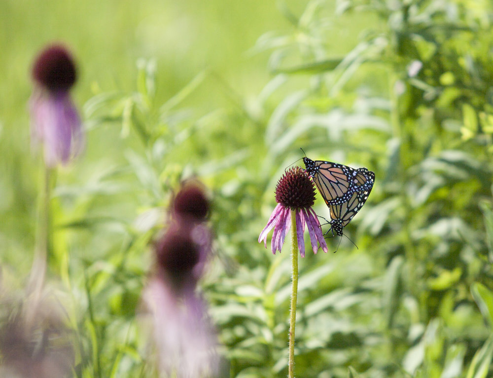 Monarchs on purple coneflower prairie