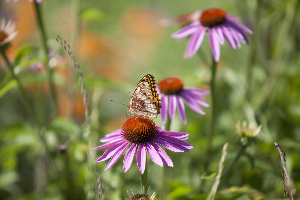 Fritillary butterfly on purple coneflower