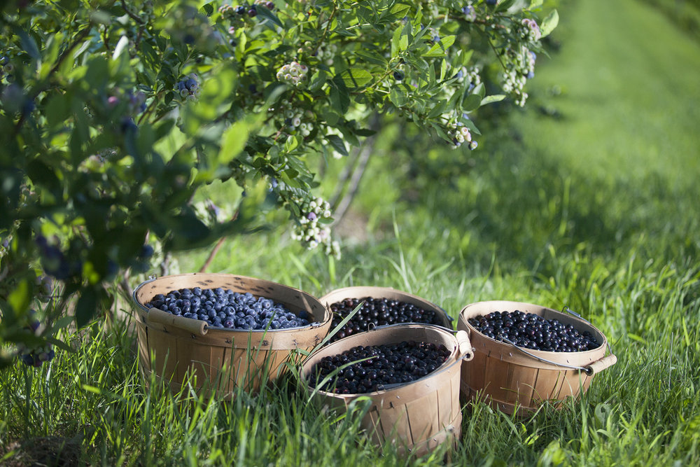 Blueberries and currants at Blue Fruit Farm