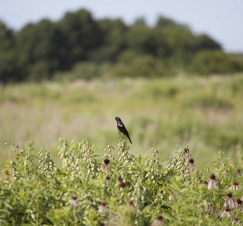 Red winged blackbird in the prairie at Prairie Moon