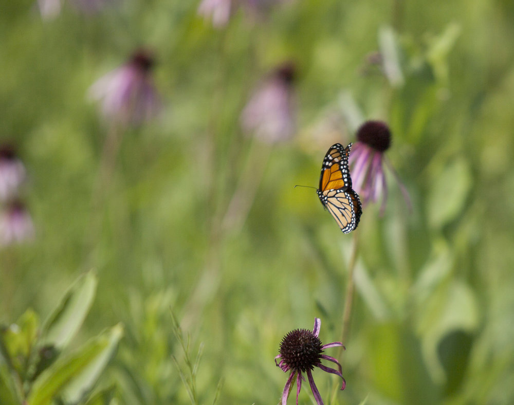 Monarch in flight among the Echinacea