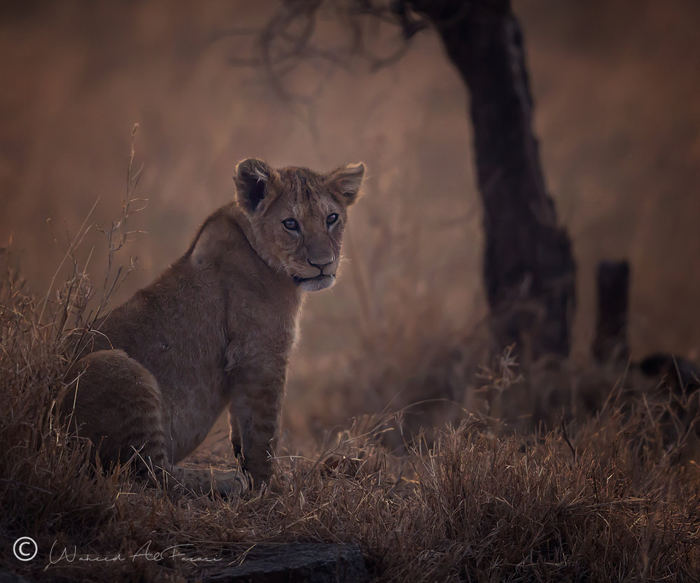African Lion (Cub)
