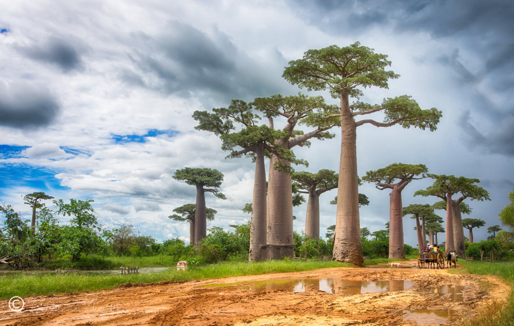 Avenue of the Baobabs | Madagascar