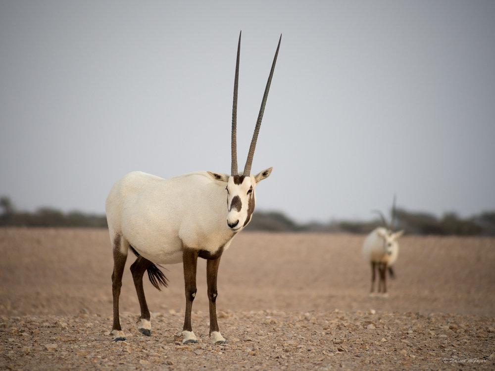 Arabian Oryx - Oryx leucoryx