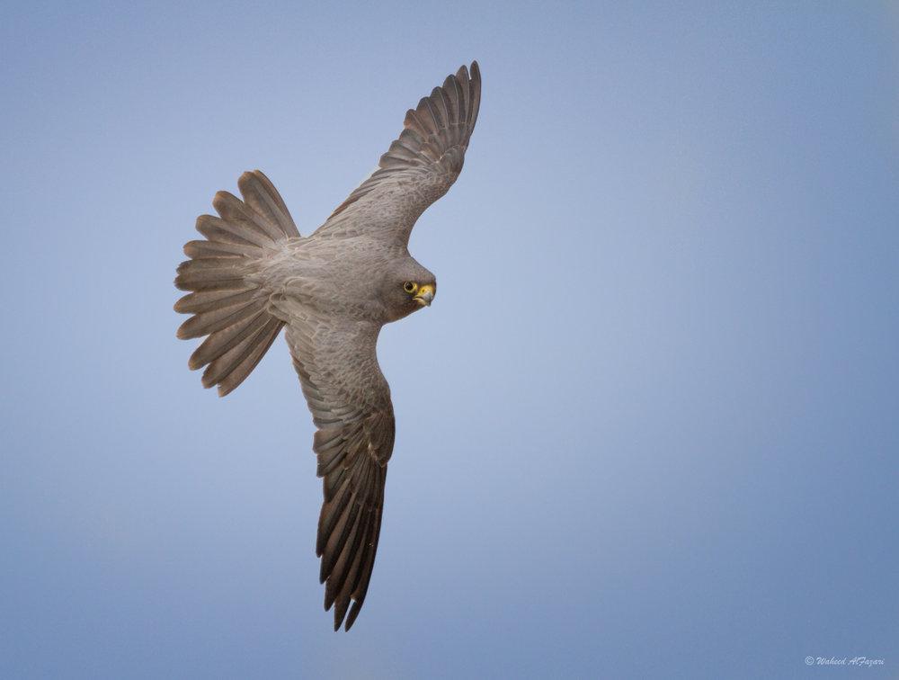 SootyFalcon - Falco concolor