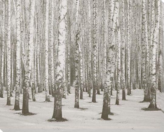 Birch Tree In Woods
