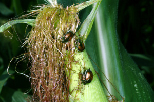 Figure 1. Japanese beetles on field corn (Photo: Ric Bessin, UK).