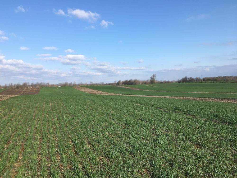 Rye cover crop test plot on Preston farm in Hardin Co.