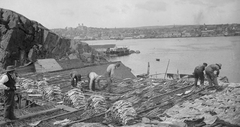 Fisherman drying cod in St. Johns, Newfoundland, c. 1900.