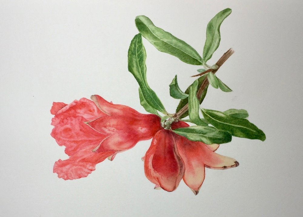 C.CRESSWELL-Pomegranate-Flower-Watercolour-400X300mm.jpg