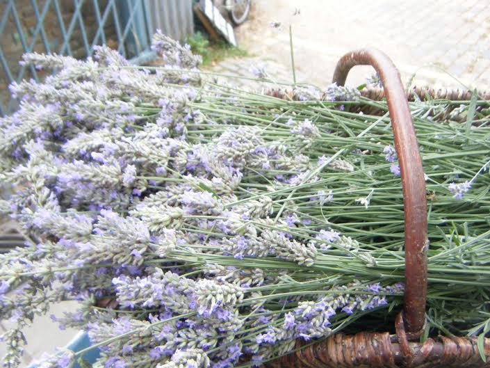 lavenderharvested.jpg