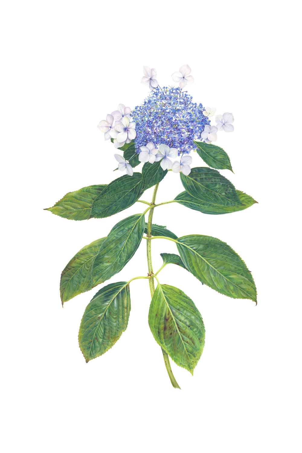 Sarah Jane Humphrey, Hydrangea Lacecap, Gouache and colour pencil crayon, 35cm x 52cm,  https://www.sarahjanehumphrey.com