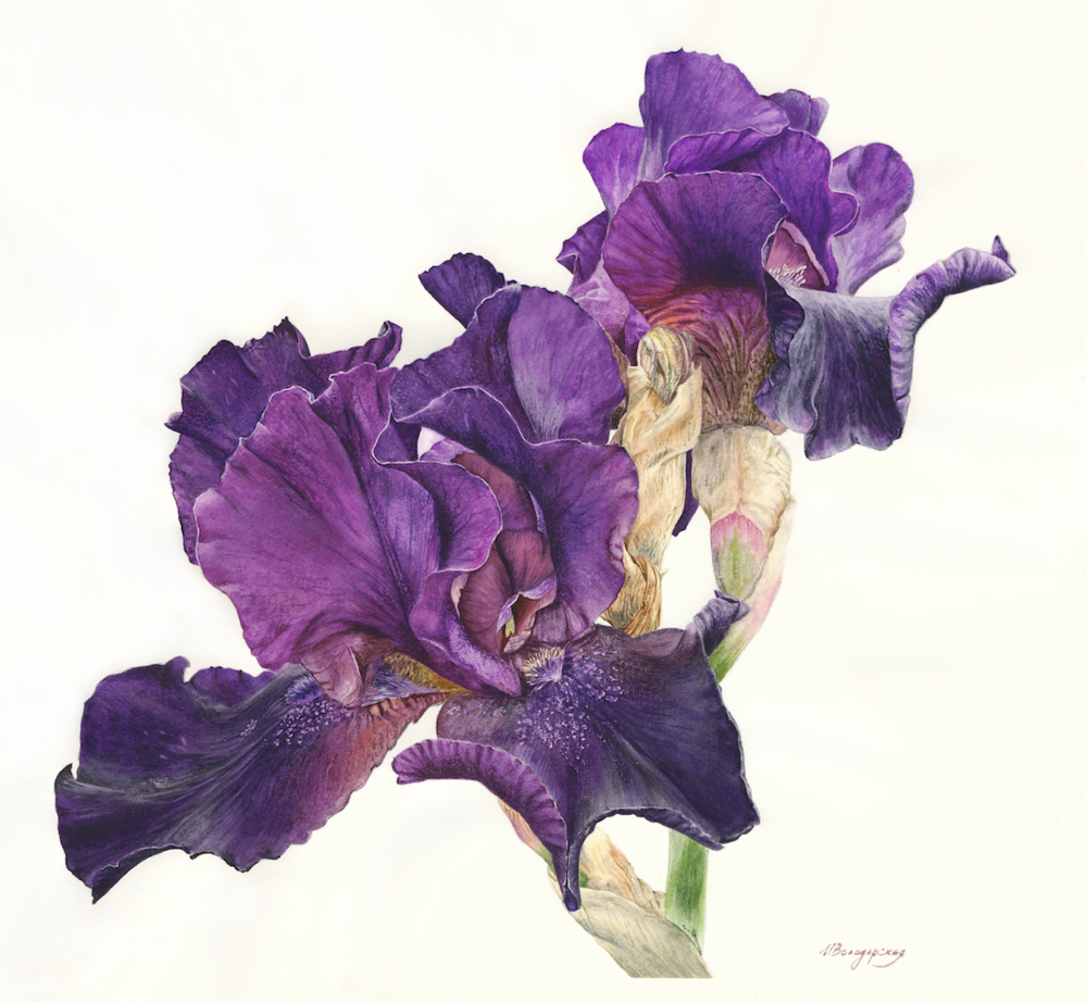 Irina Volodarskaya, Iris, watercolor on paper, 36x38,  https://www.instagram.com/irinaal6.art/
