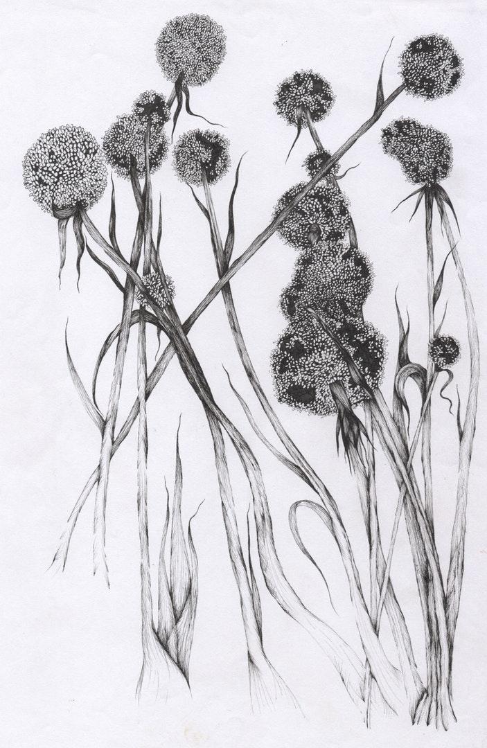 Aimee Sajjan-Servaes  Flower Study: Leeks Gone to Seed  Ink on Paper, 29.7 x 21 cm  https://www.aimeelouiseillustration.com