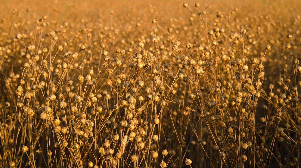 Flax Field.jpg