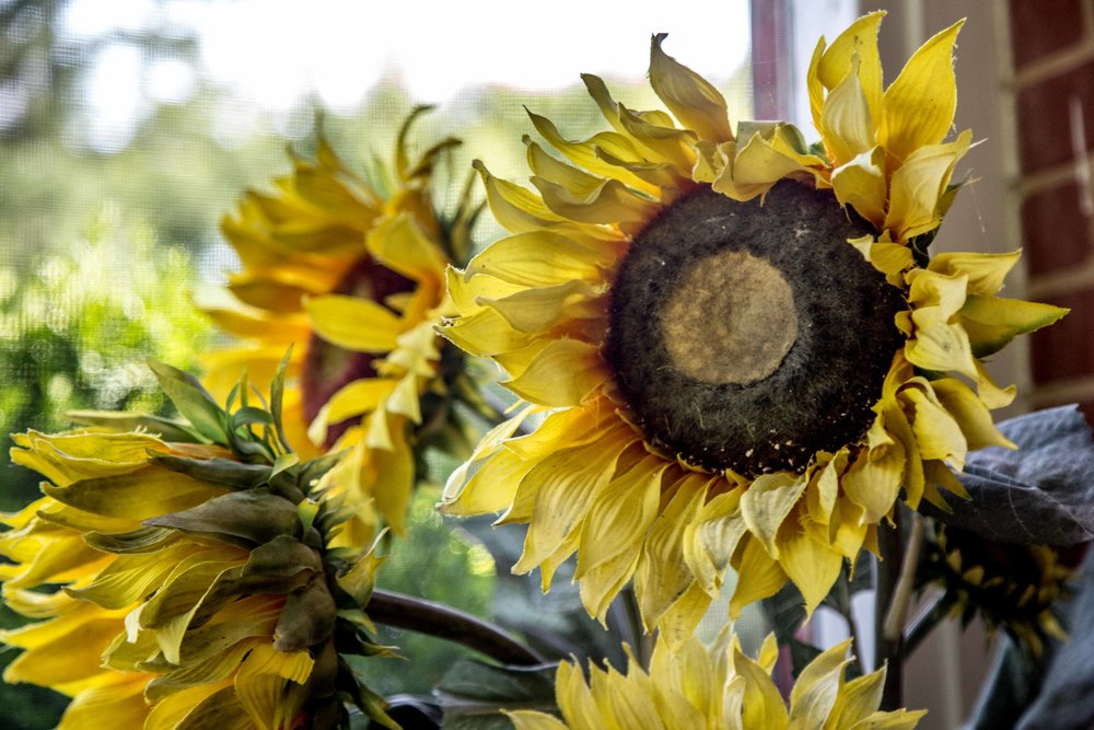 Bethy & Shawn engagement sunflowers