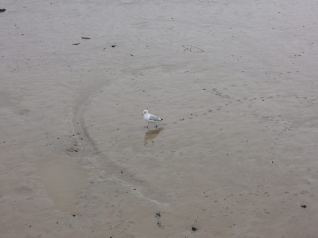 dartmouth_seagull