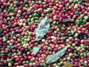 Puerto-Rico-Harvested-Cherries-300x225.jpg