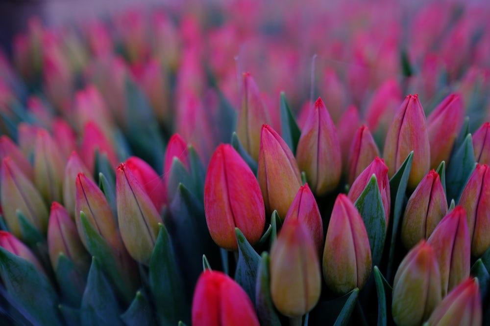 pink tulip tops.jpg