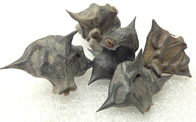 "Record Number: 030 Collection Date: 21 Oct 2017  Description: Thorny, black, water chestnut (aka devil pod) Dimension: 1"" x 1"" x .75"" each"
