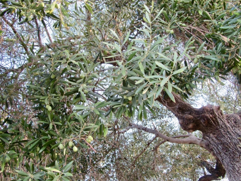These olive trees are 200-300 years old!! How incredible!