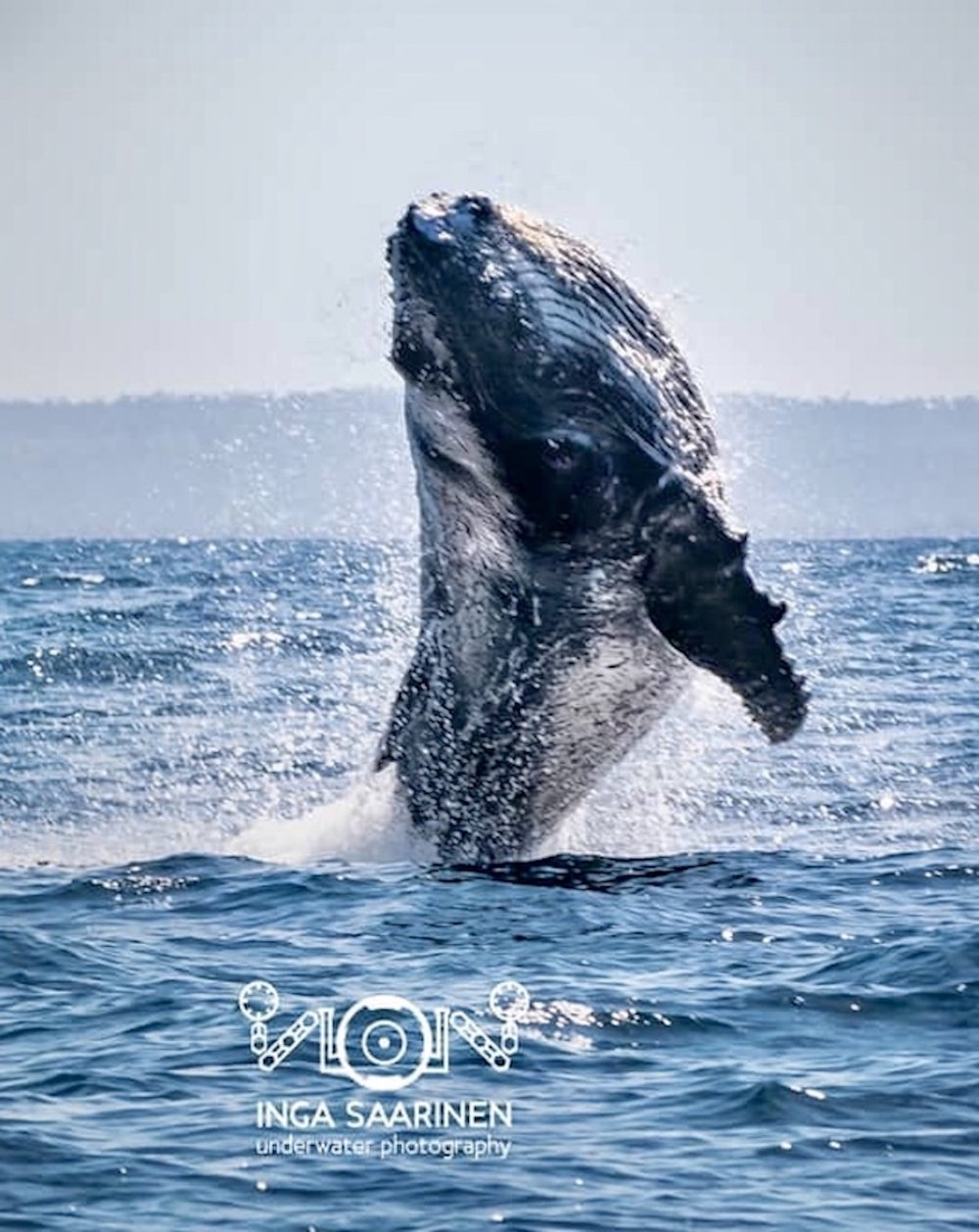 Intensive Whale Week - 7 nights in Wuyani Pariango Beach Motel chalet with own shower and toiletBreakfast at our HAPPI restaurantPADI FREEDIVER course2 half day whale watching tours with a researcher or our own whale expertDrinking water and snacks on boardPer single person 632€2 people sharing 506€ (per person)