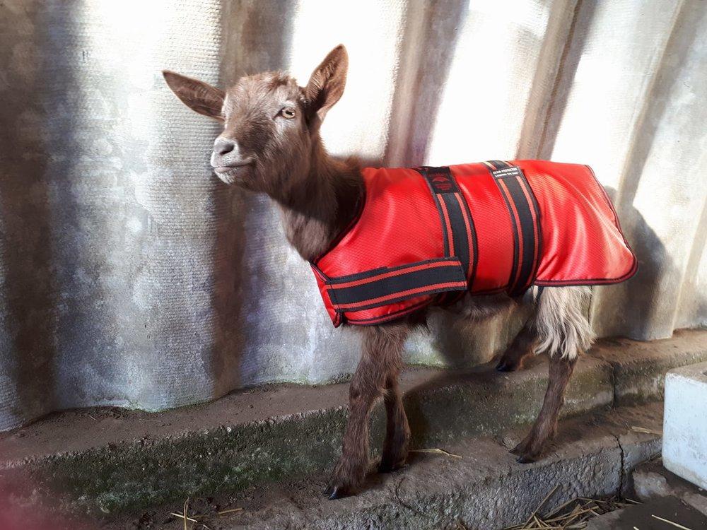 Chocolate in her new winter coat.