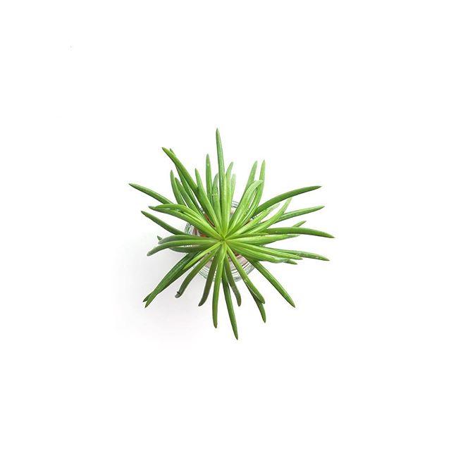 Propagating my senecio archeri himalaya 🌿 | #plantsofinstagram . . . . . #plantspirit #plantsplantsplants #seneciohimalaya #plantsmakepeoplehappy #buyaplant #minimaliststyle #sustainableliving #minimalisthome #succulentplants #succulentsofig #plants_are_magic
