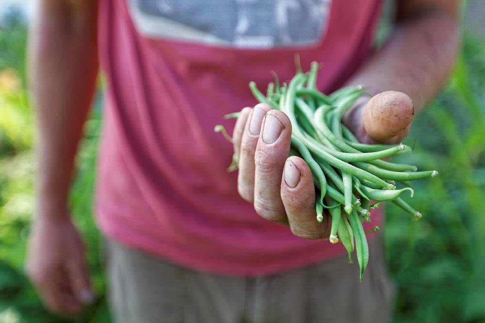 Cueillette de haricots