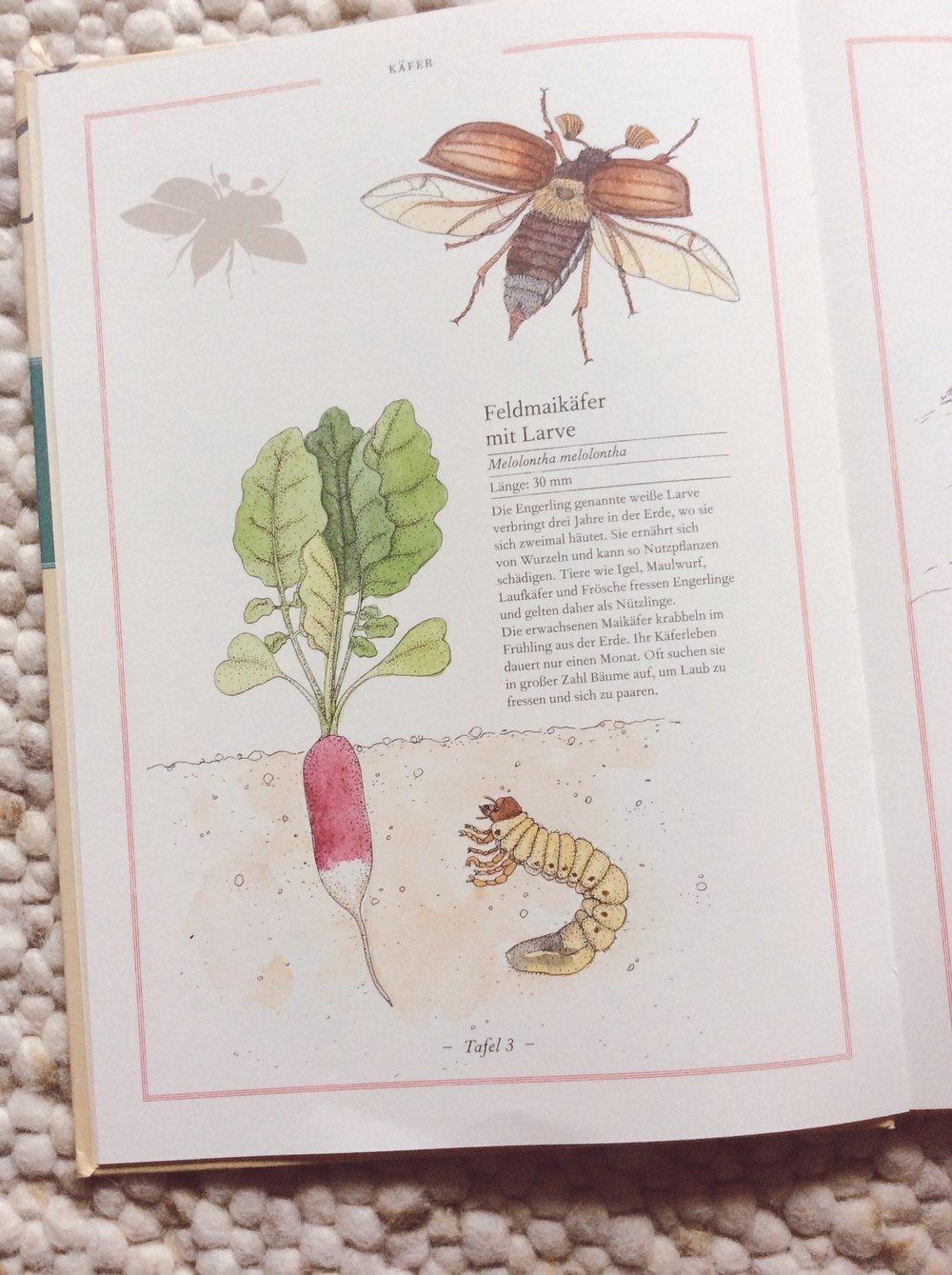 lesestoffmitdaumenkino-fliege-falter-honigbiene-maikaefer
