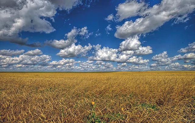 Big #wheat field eeds  a #bigsky for balance. #explorecanada #exploresask #prairie #photographyworld #ottawaphotographer