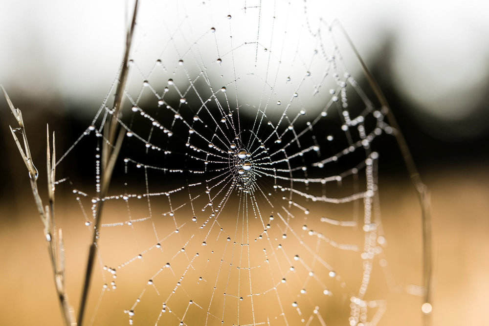Dew Drops on Spider Web.jpg