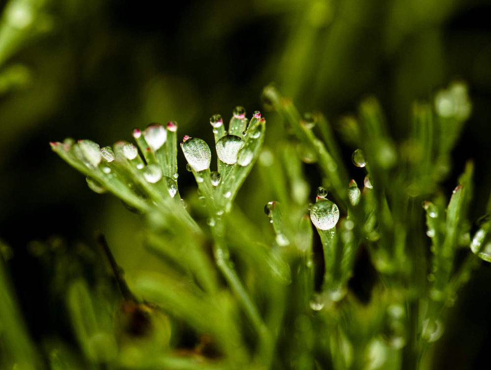 Rain Drops on Poppy Leaves 4 web.jpg