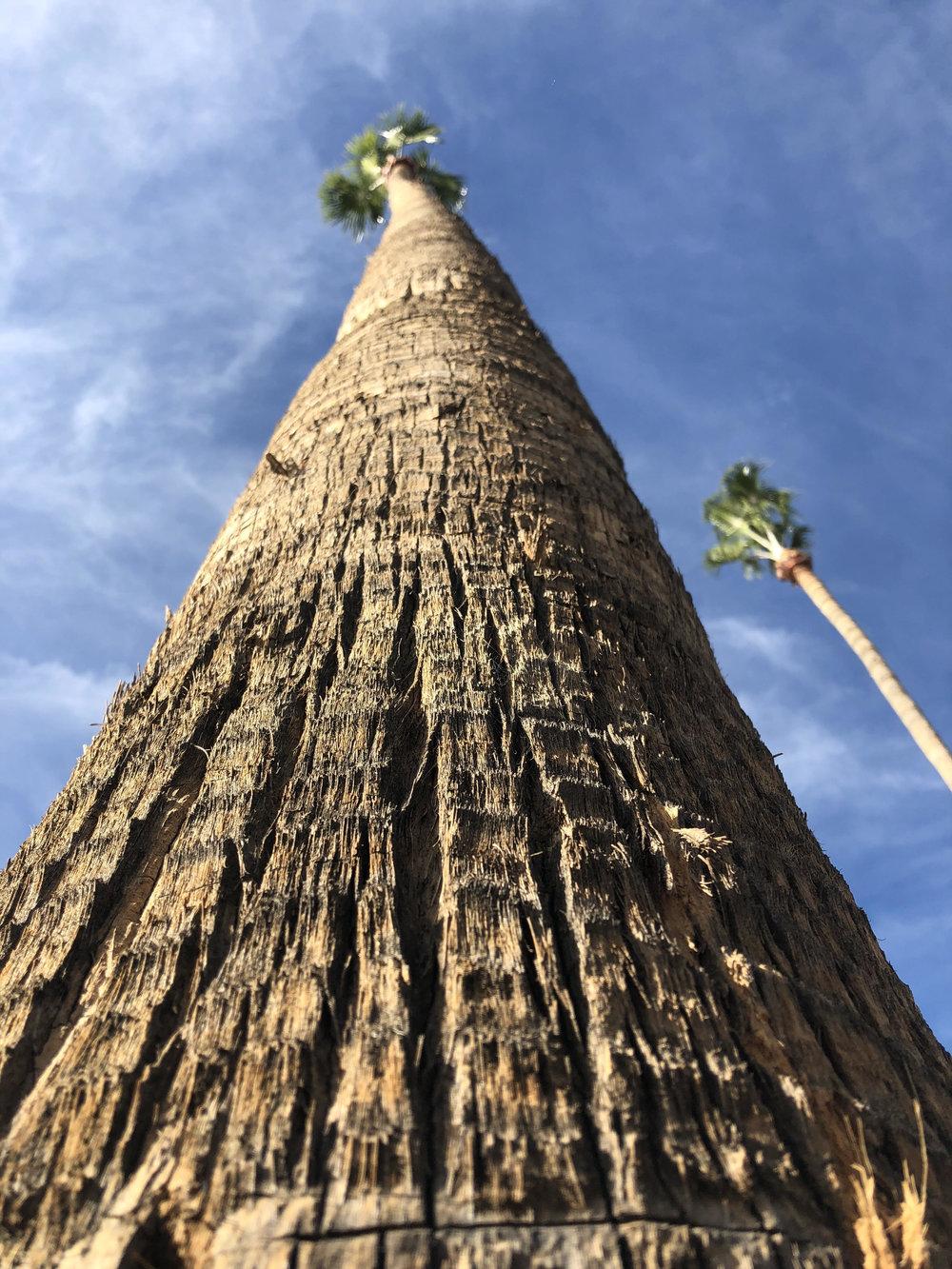 Palm Tree - Phoenix, AZ