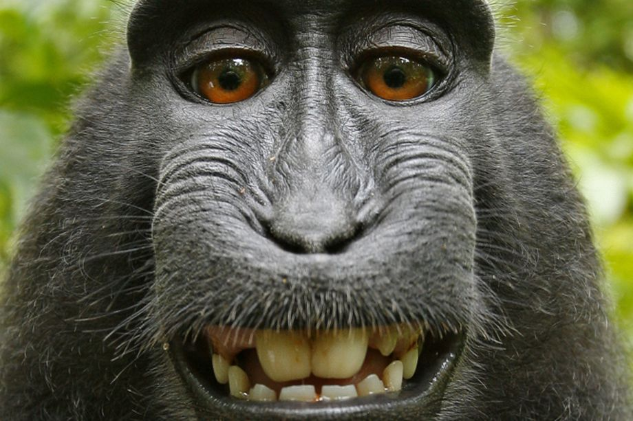 Macaca_nigra_self-portrait__rotated_and_cropped_.0.jpg