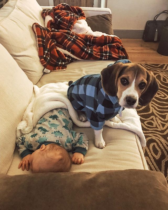 Guarding my new human. Also licking him because babies taste good. . #beaglesofinstagram #beaglepuppy #puppylove #boomer #guardpuppy #beagle #gooddog