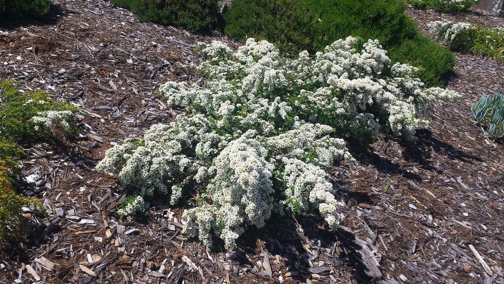 Leptospermum scoparium 'Horizontalis' Horizontalis New Zealand Tea Tree