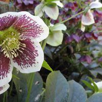 Helleborus orientalis, Lenten rose,
