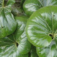 Farfugium japonicum 'Gigantea', Giant Leopard Plant