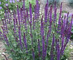 Salvia nemorosa, Meadow Sage