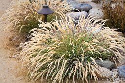 Calamagrostis foliosa, Mendocino Reed Grass